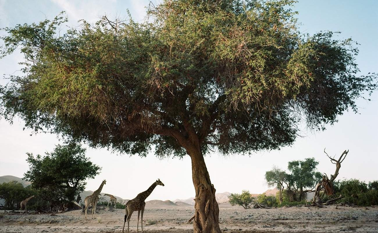 Giraffen im Kaokoland