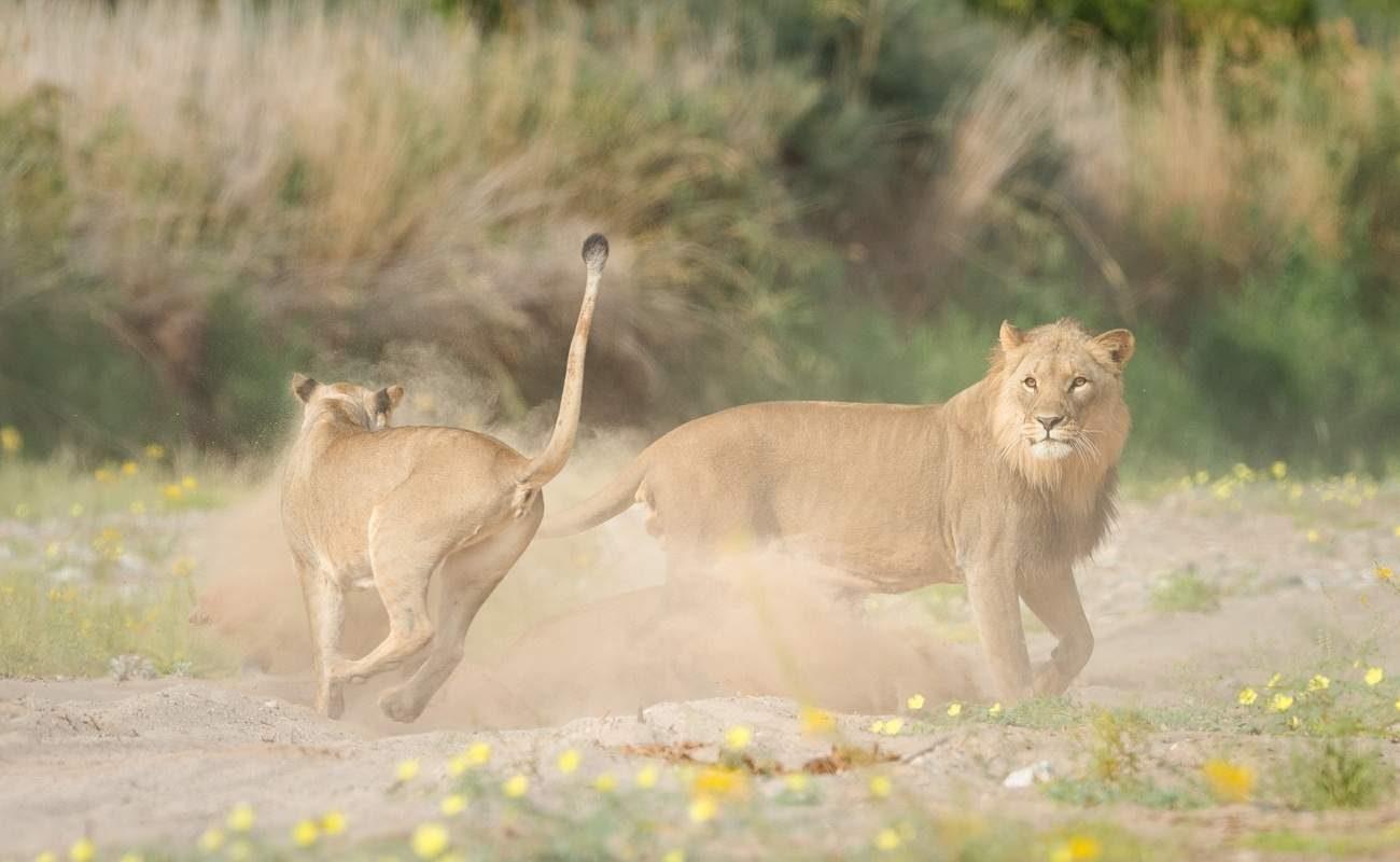 Wüstenangepasste Löwen in Namibia