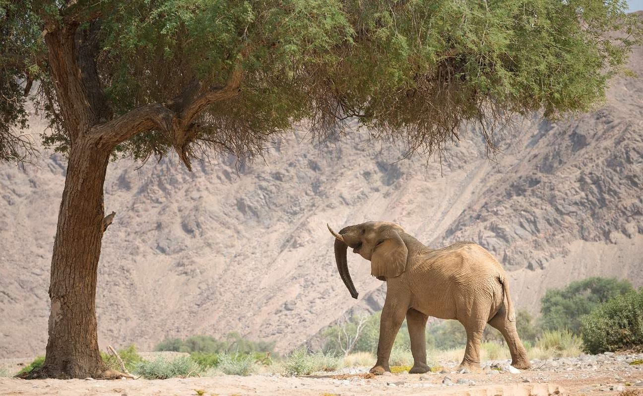 Wüstenangepasste Elefanten in Namibia