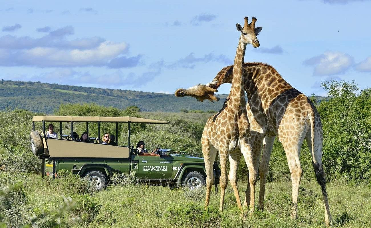 Giraffen im Shamwari Game Reserve