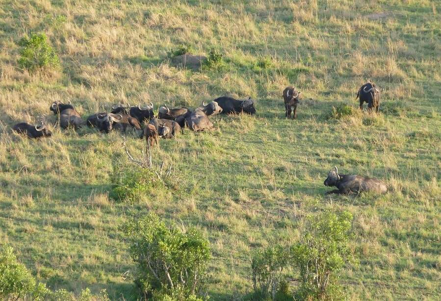 Büffel auf einer Ballonsafari
