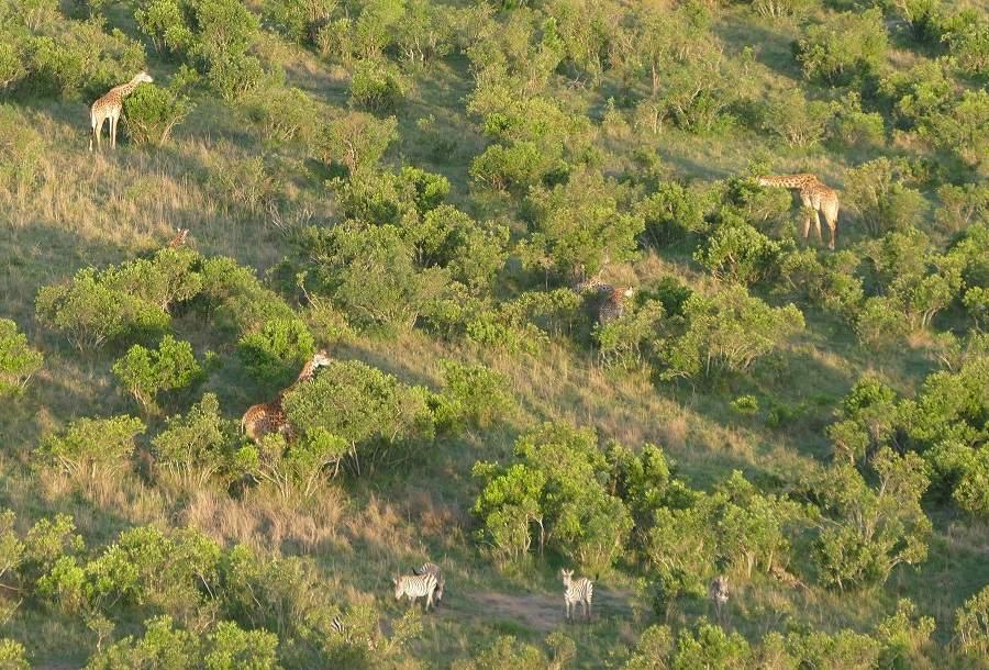 Giraffen vom Heissluftballon aus gesehen