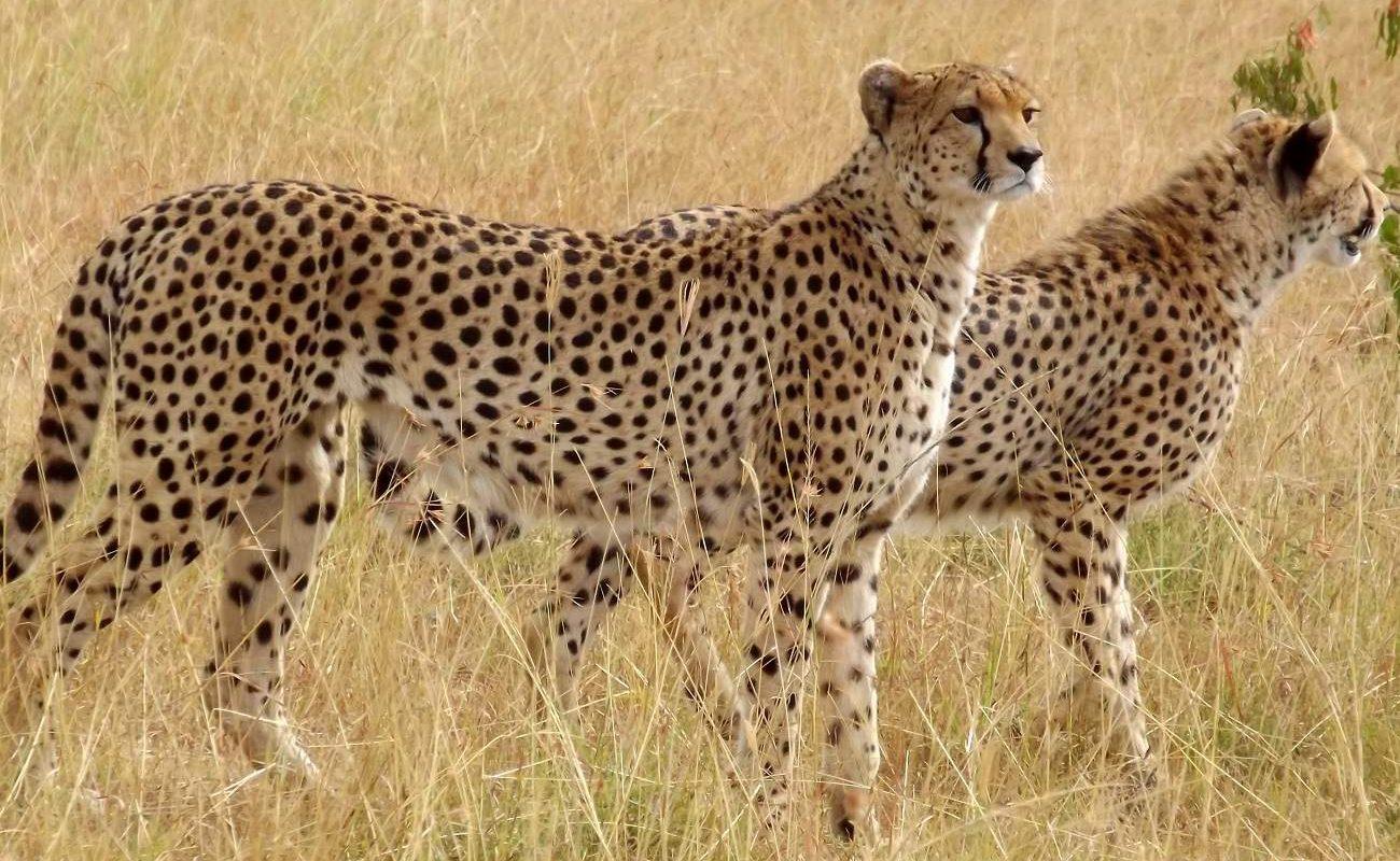 Geparden in der Naibosho Conservancy