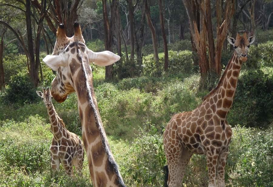 Rothschild Giraffen Giraffe Centre