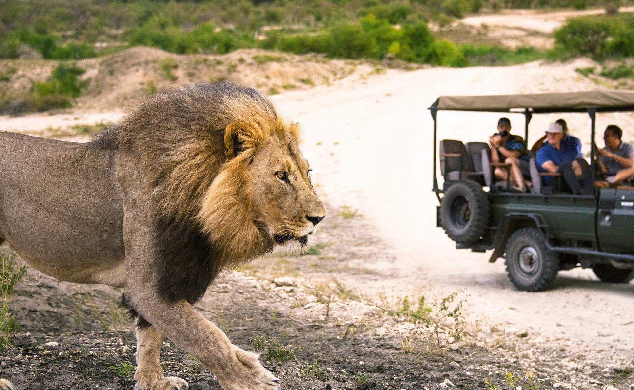 Löwe im Sabi Sands Gebiet