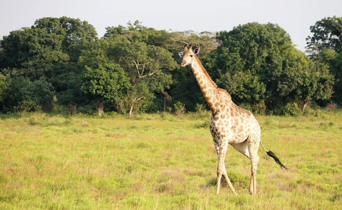 Giraffen im iSimangaliso