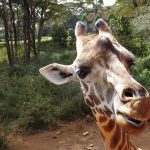 Tag in Nairobi - Highlight Giraffe Centre