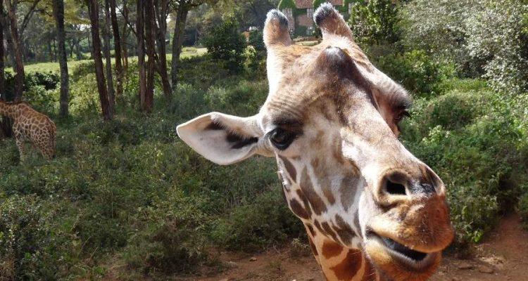 Tag in Nairobi - Highlight Giraffe Centre