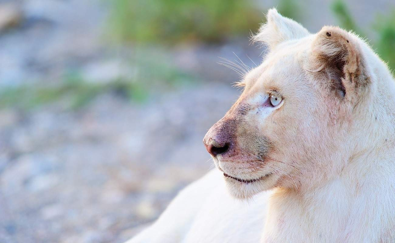 Ein Weißer Löwen im Sanbona Wildlife Reserve