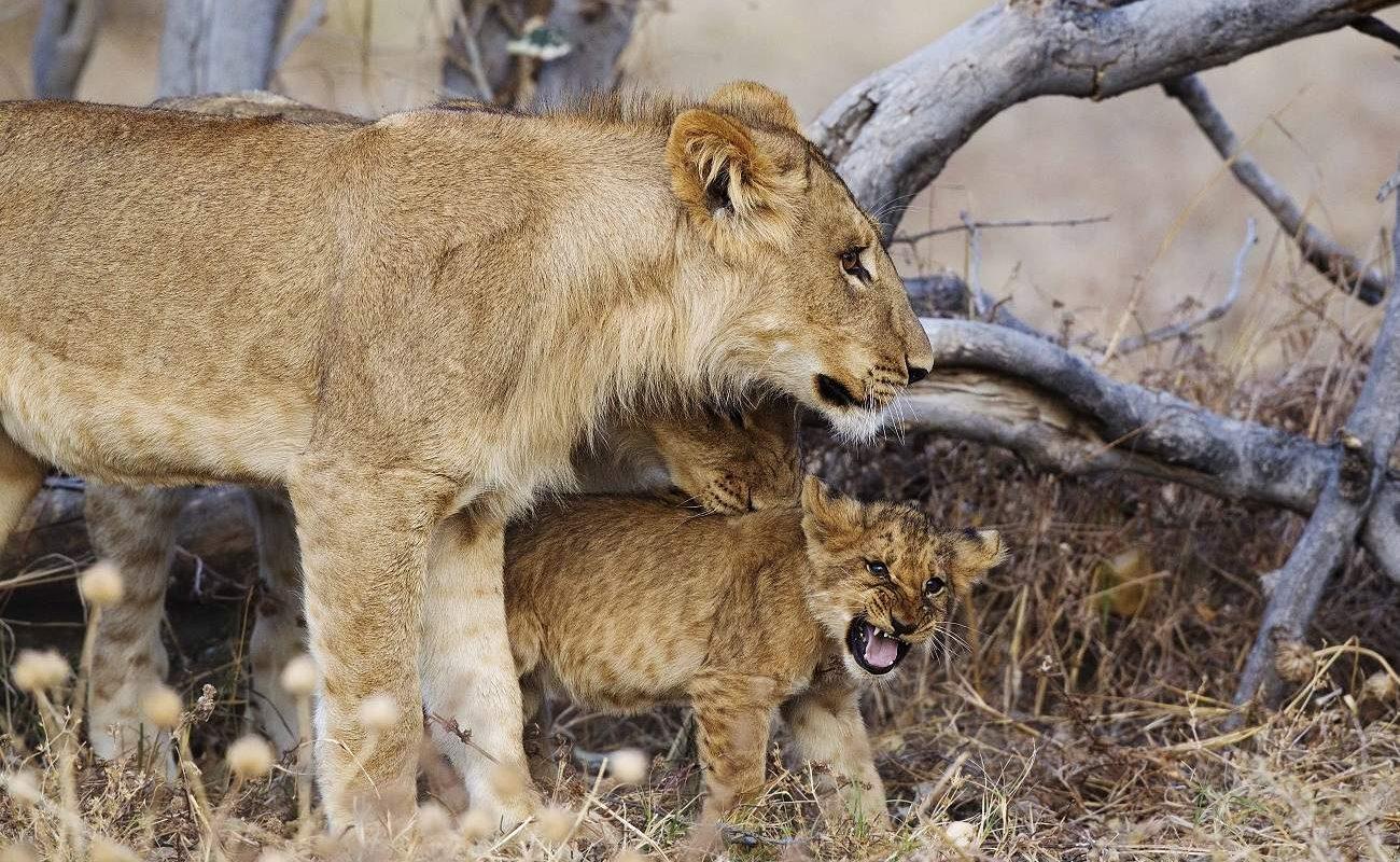 Löwen in der Savute Region in Botswana