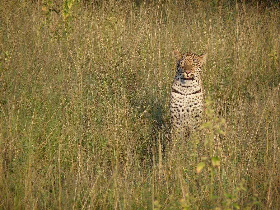 Leopard im hohen Gras in Botswana
