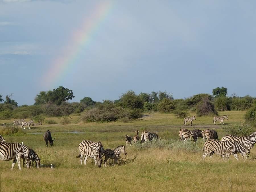 Zebras auf einer Pirschfahrt im Moremi Gebiet