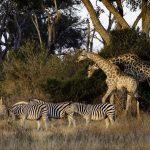 Safaris in einem trockenen Jahr in Botswana