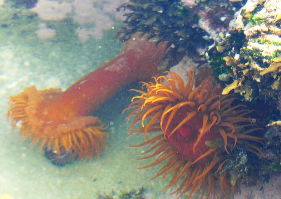 Seeanemone beim Fressen in De Hoop