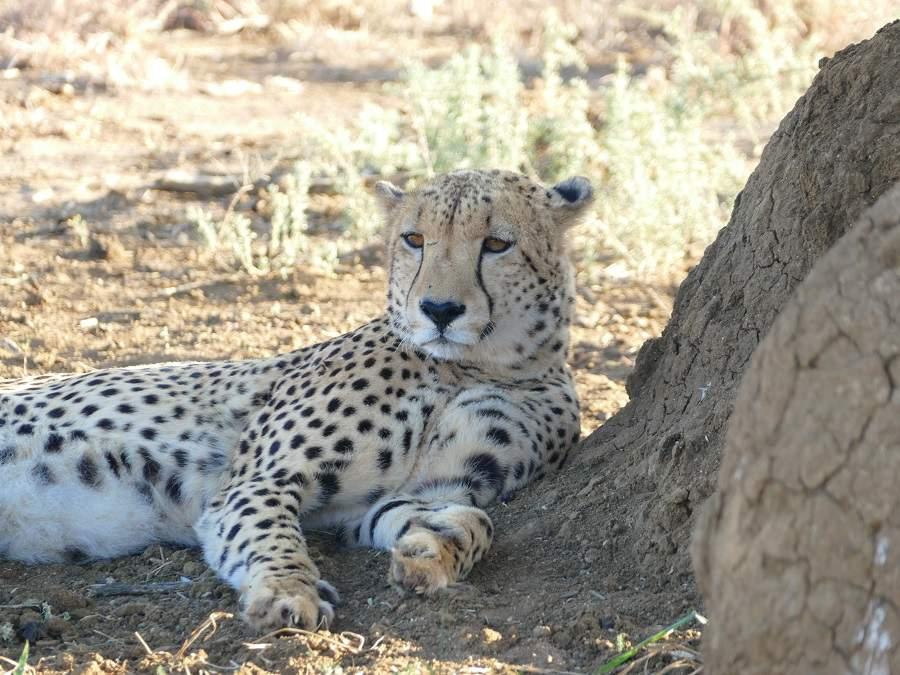 Gepard im Madikwe Game Reserve