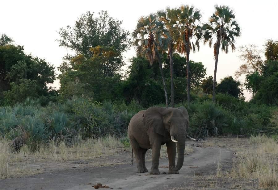 Elefant vor Lalapalmen im Pafuri Triangle