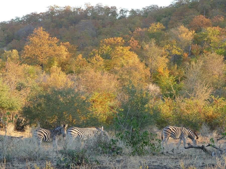 Zebras Mopane Wald Makuleke