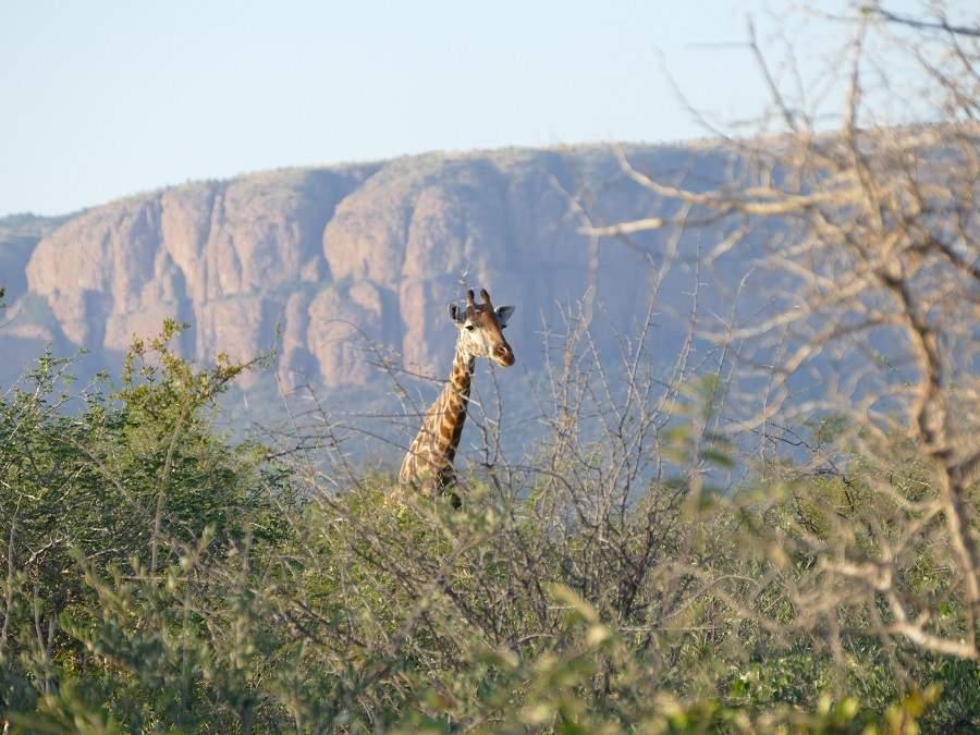 Giraffe im Marakele Nationalpark