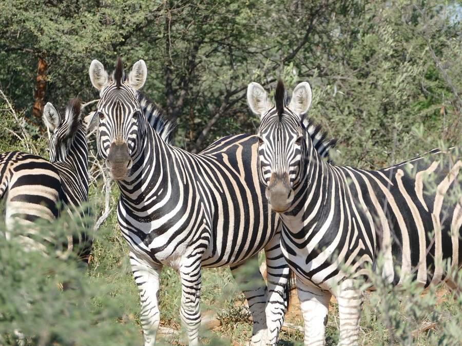 Zebras im Marakele Nationalpark