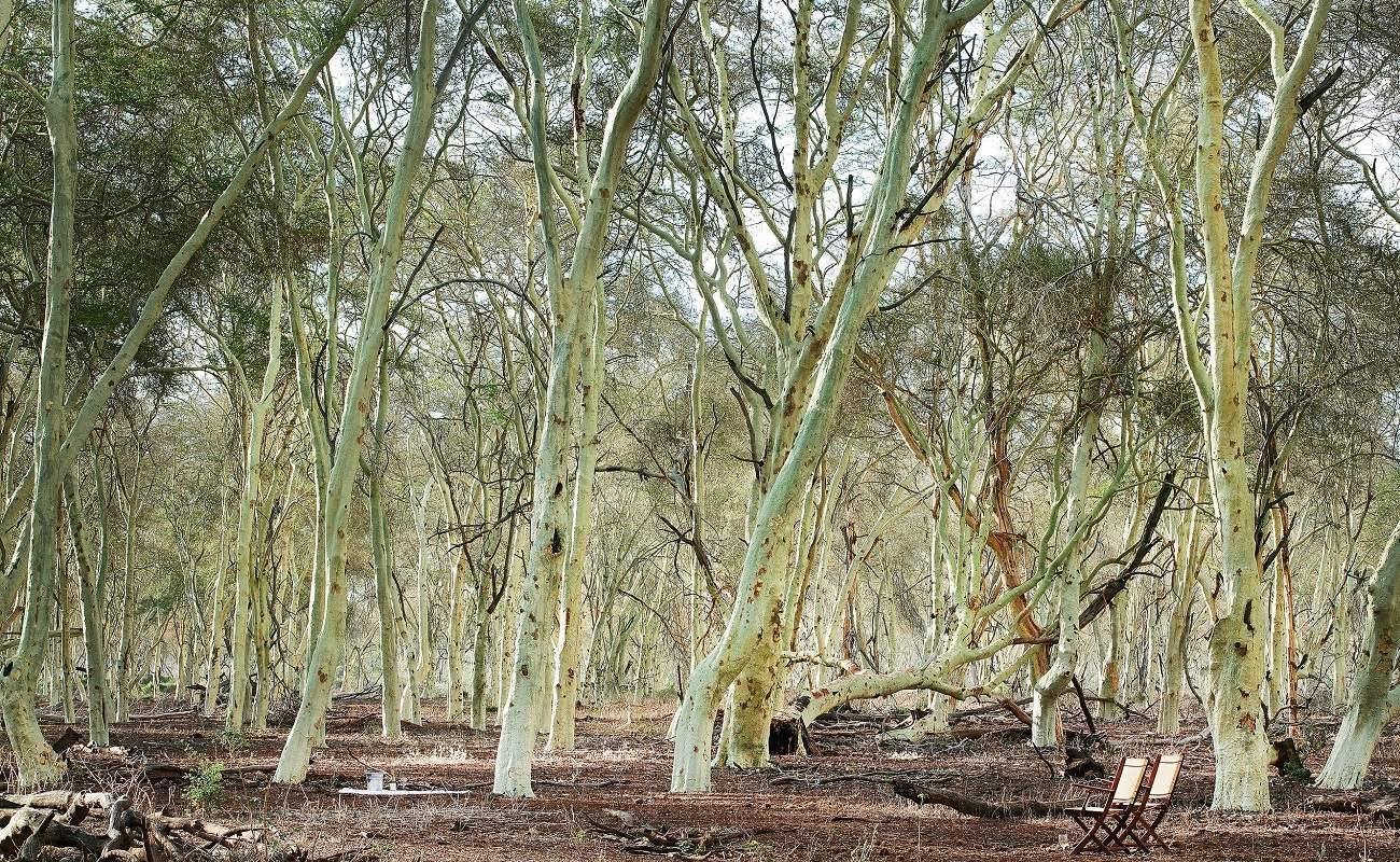 Fever Tree Forest im nördlichen Krüger Nationalpark