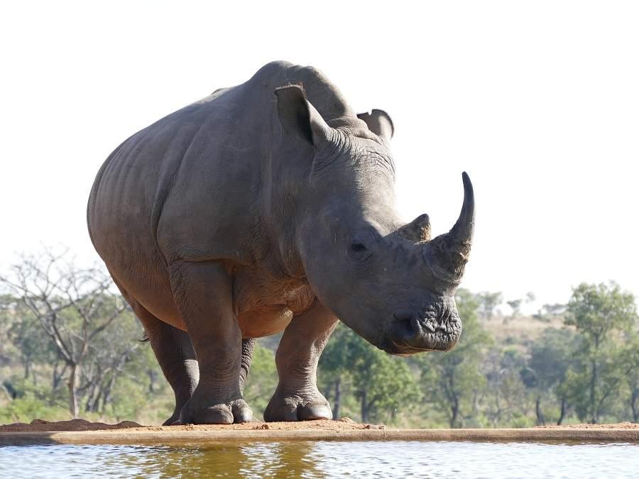 Nashorn vor der Hide von Mhondoro