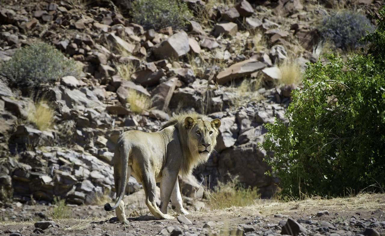 Löwe im Damaraland