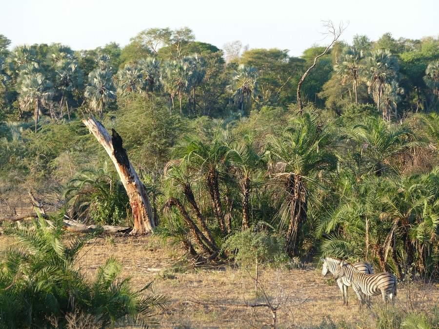Zebras vor Lalapalmen, Makuleke Pafuri