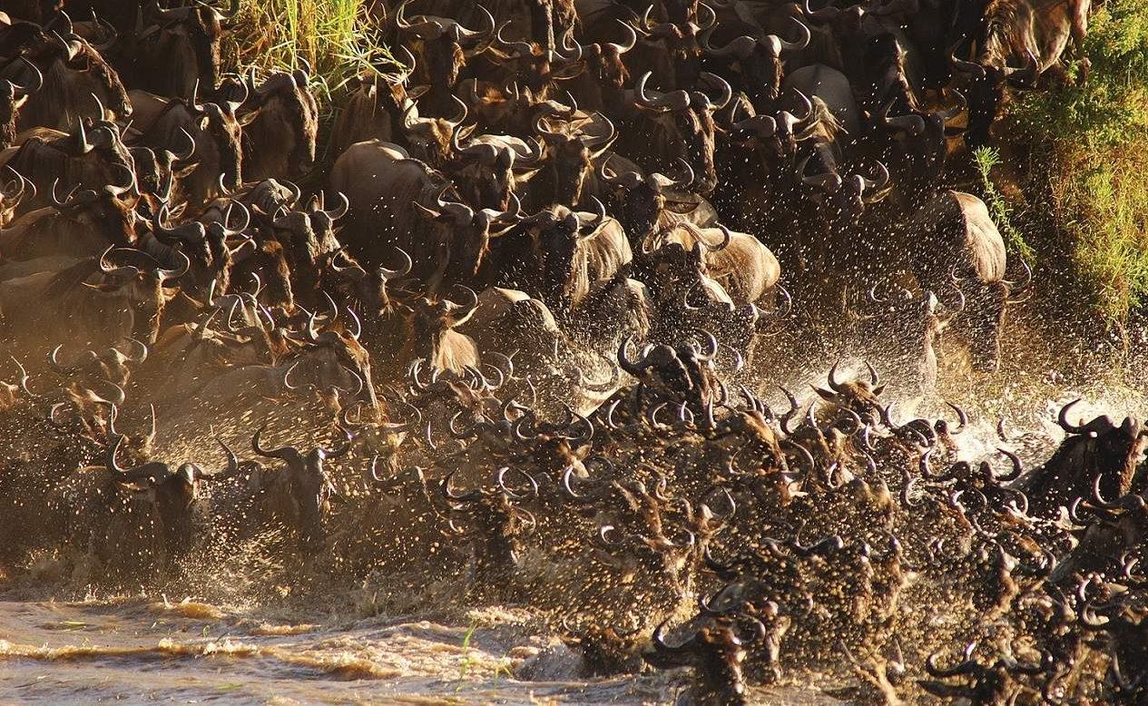 Gnu River Crossing während der Great Migration
