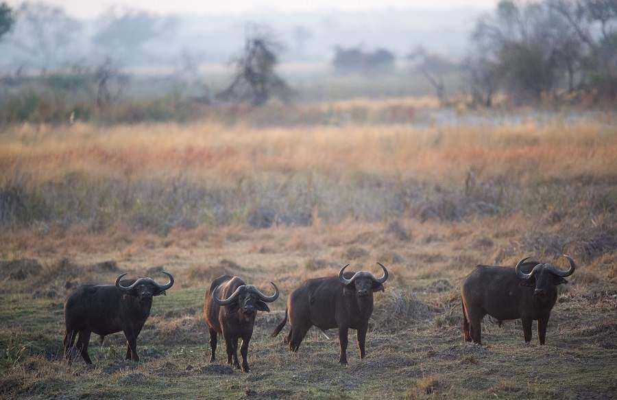 Büffel im Caprivi-Streifen - Zambezi-Region, KAZA