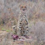 Welgevonden Game Reserve - Gepard