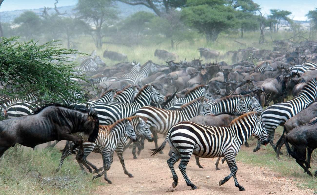 Zebras und Gnu der Großen Migration
