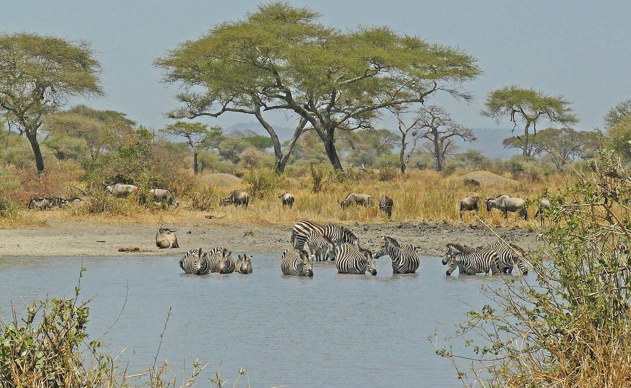 Zebras Wasserloch Tarangire