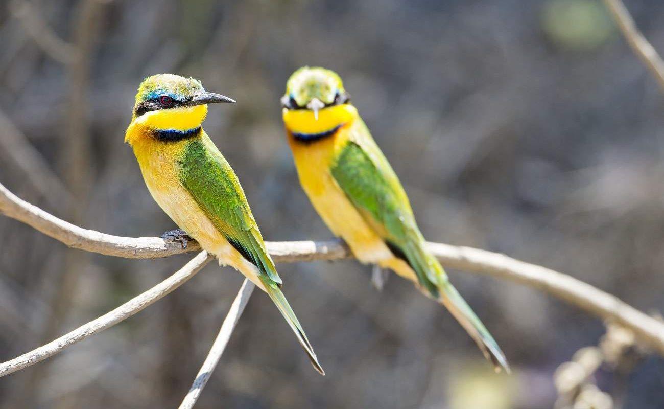 Beeeater in der Serengeti