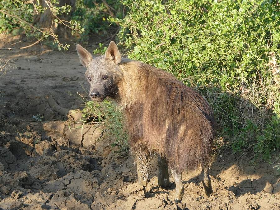 Braune Hyäne Madikwe