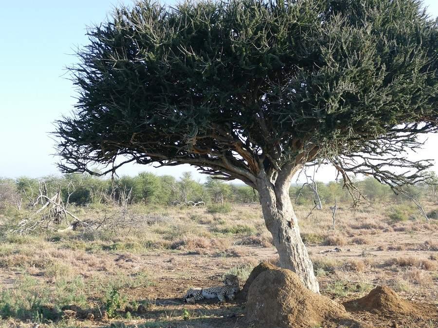 Gepard Sheperd's Tree im Madikwe