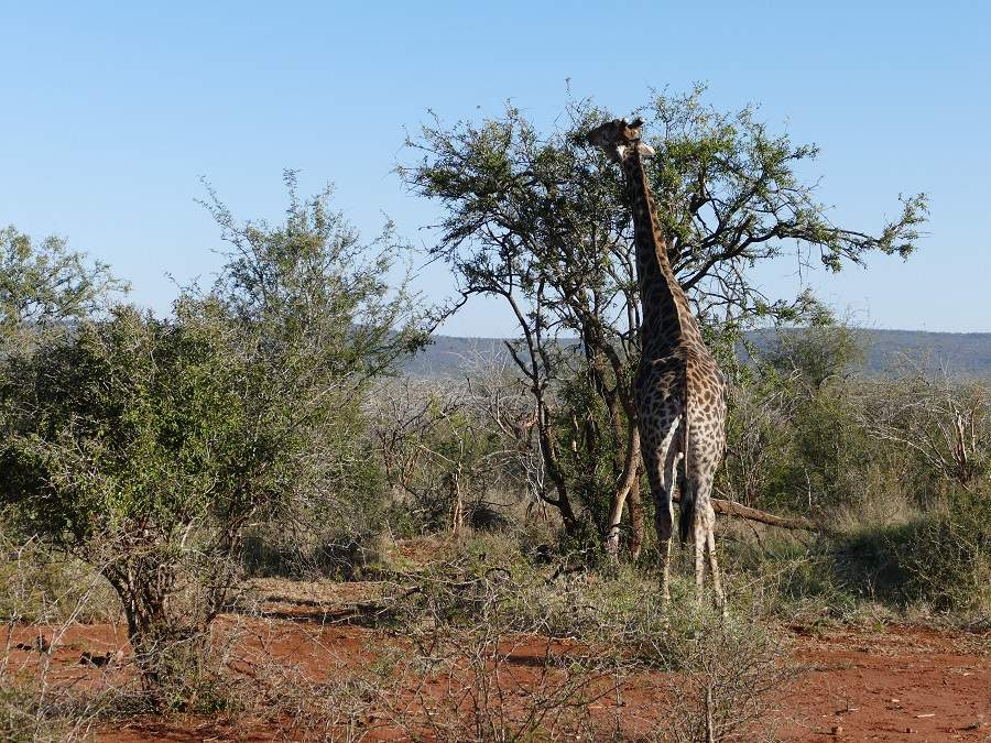 Giraffe im Madikwe Game Reserve