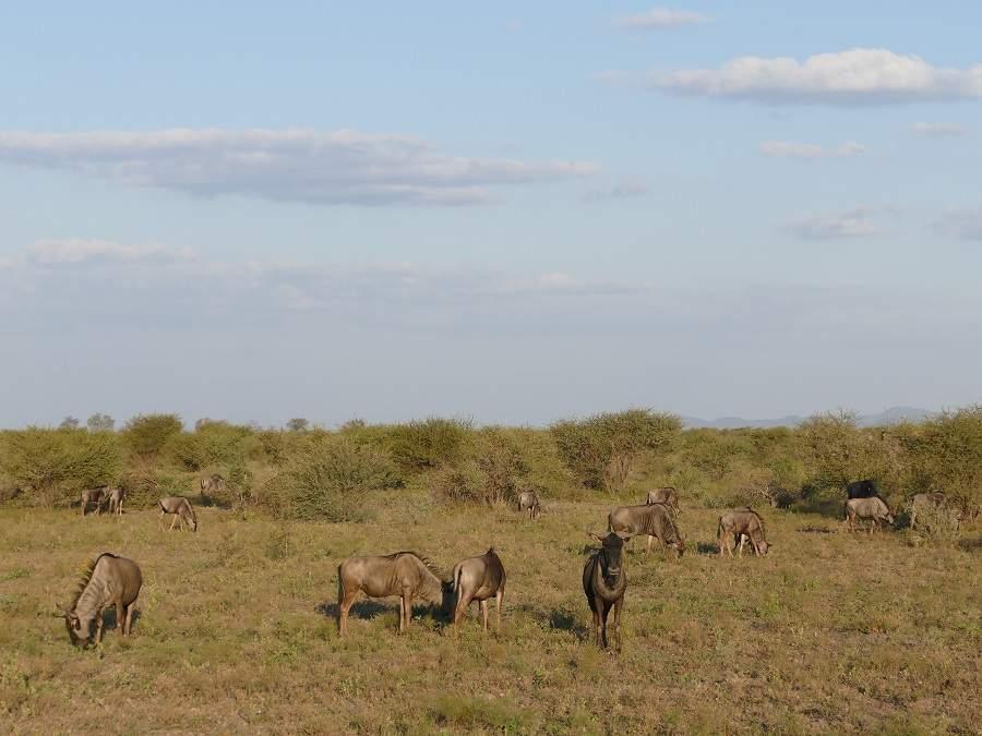 Gnus im Madikwe Game Reserve