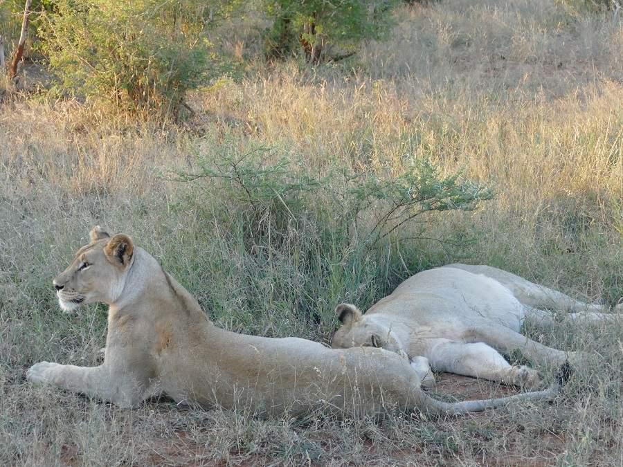 Löwen im Madikwe Wildreservat