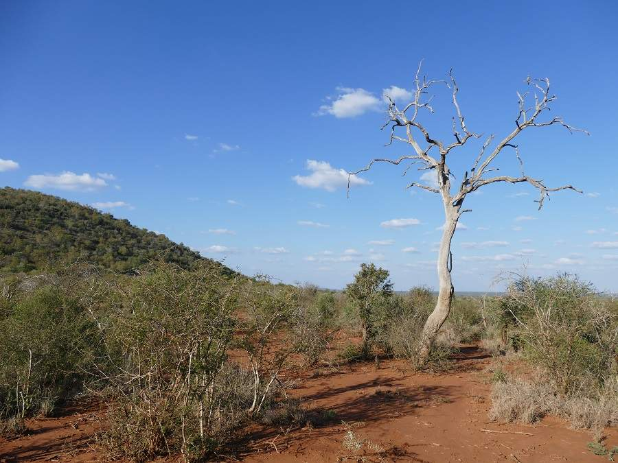 Baum im Madikwe Game Reserve