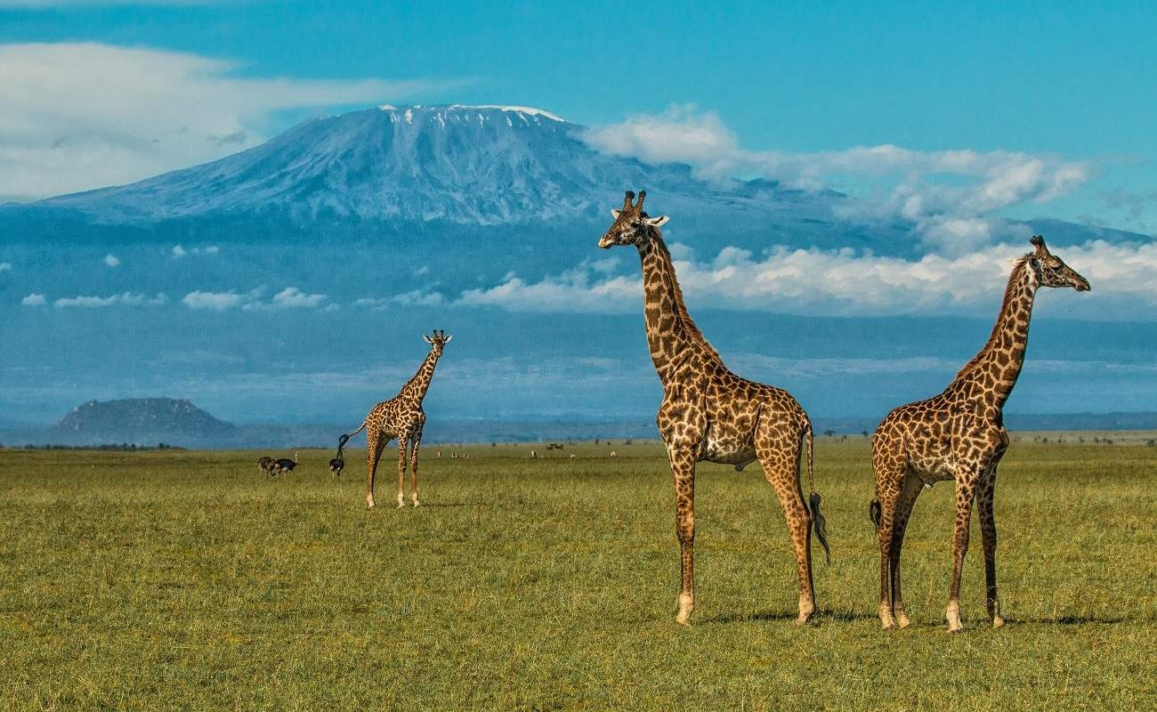 Giraffen vor der Kulisse des Kilimanajaro