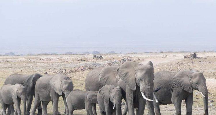 Amboseli: Safari im Nataionalpark oder in einer Privatkonzession?