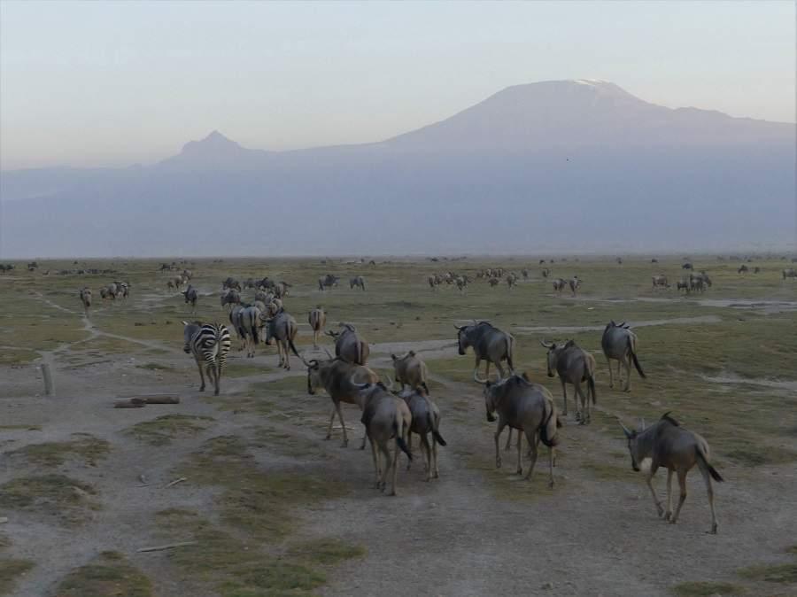Gnus vor der Kulisse des Kilimanjaro
