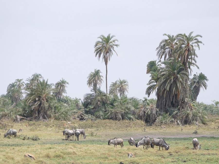 Palmen im Amboseli