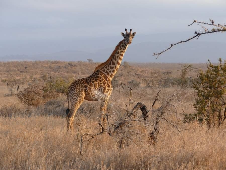 Giraffe in Satao Elerai