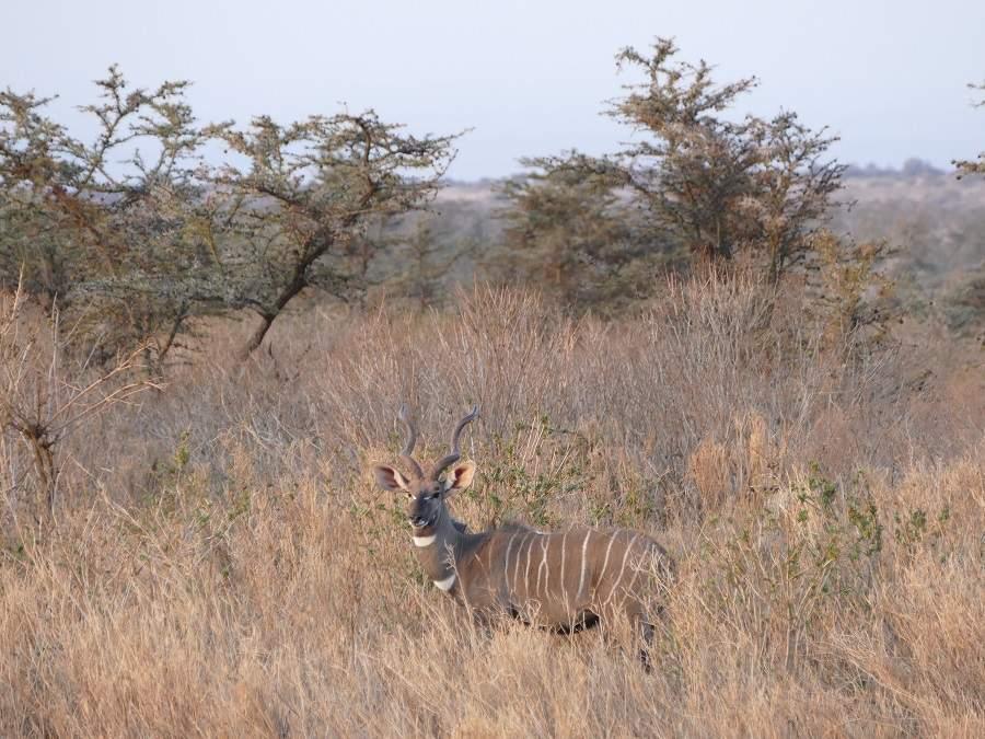 Kudu in Satao Elerai