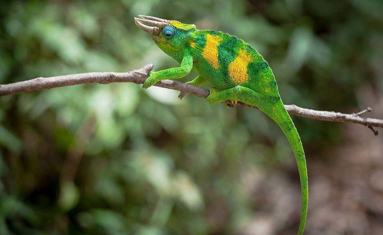 Farbenprächtige Echse in Uganda