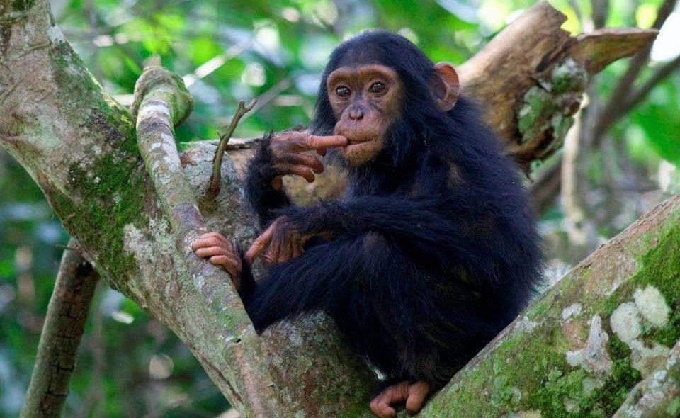 Schimpanse im Kibale Nationalpark