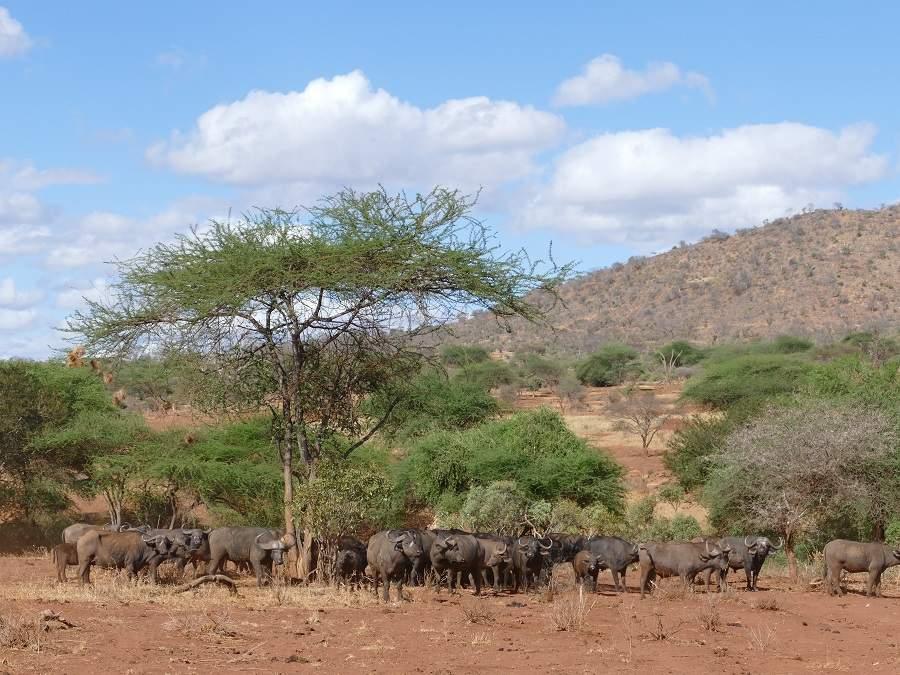 Büffel im Tsavo West