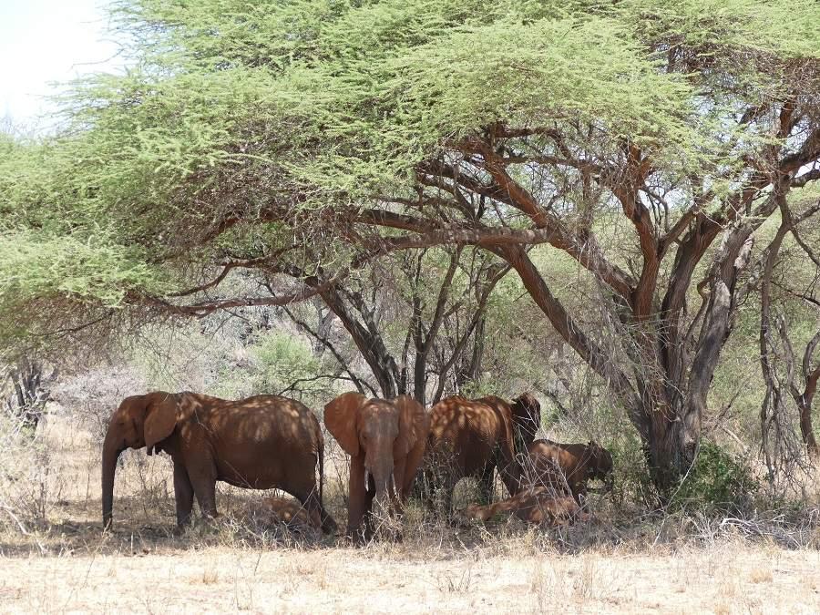 Elefanten unter Akazie im Tsavo Nationalpark