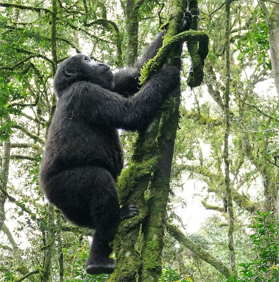 Gorilla in den Bäumen